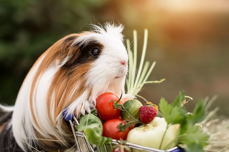 Guinea pig and fruits royalty free stock photography