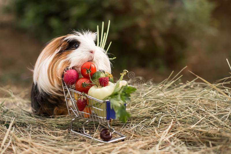 Guinea pig and fruits stock photo