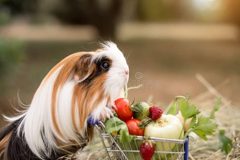 Guinea pig and fruits stock photos
