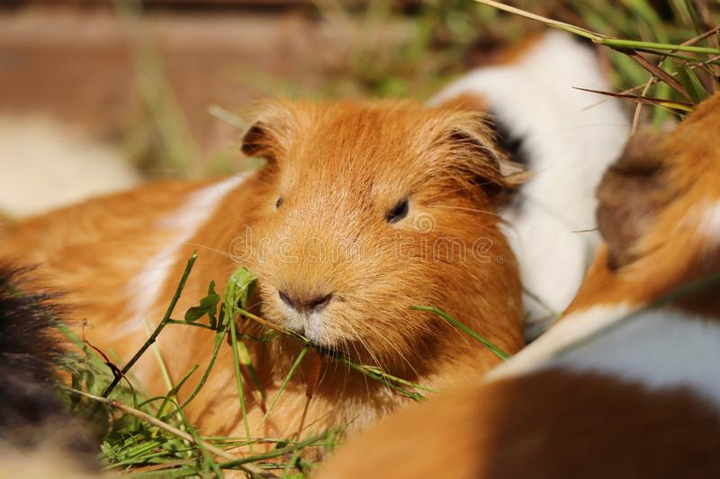 A cute guinea pig eating grass in his home with other friends and brothers. This one is brown with white strips stock images