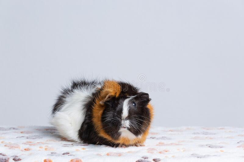 Cute Guinea pig, a popular household pet.  stock image