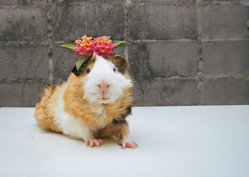 Cute guinea pig, a popular household pet. Have flower on head. Cute guinea pig, a popular household pet and smile. Can use for advertising pet product or pet stock photo