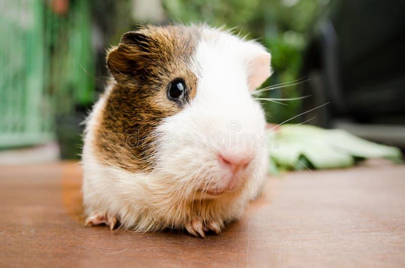 Cute guinea pig, a popular household pet. Cute guinea pig, a popular household pet at out door royalty free stock photos