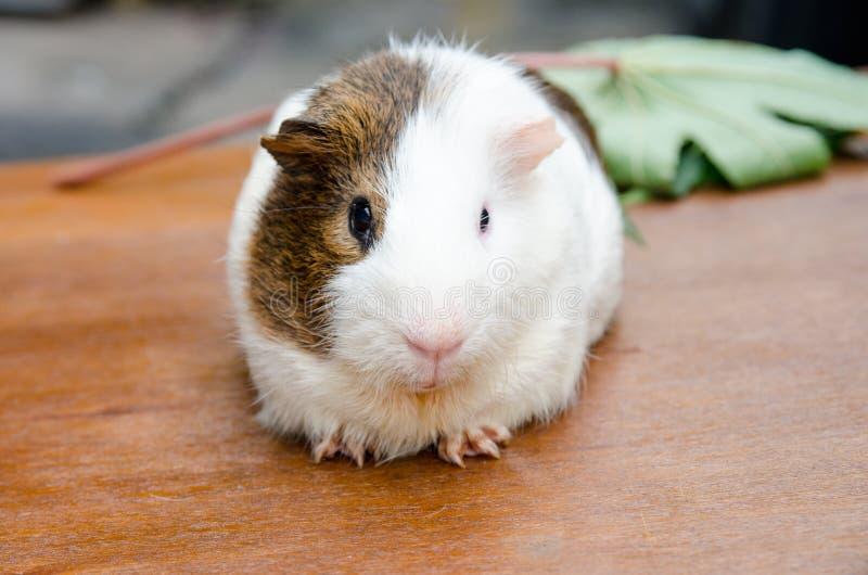 Cute guinea pig, a popular household pet. Cute guinea pig, a popular household pet at out door stock photo