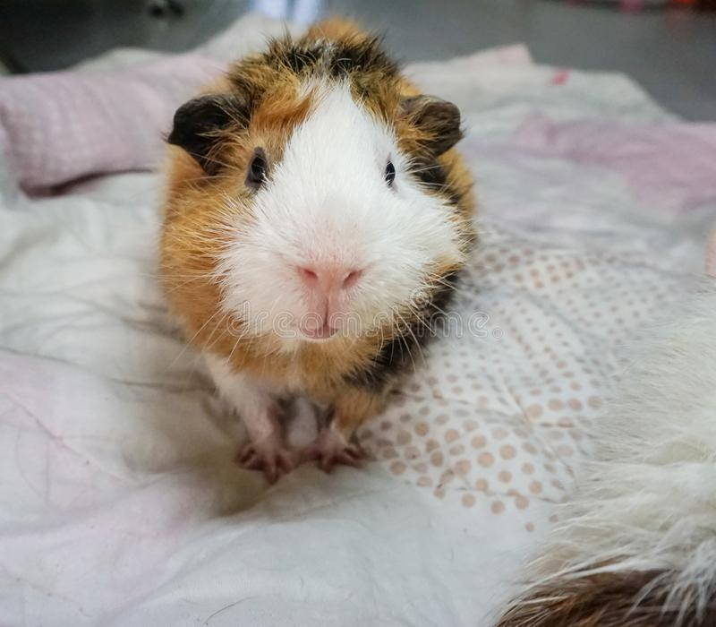 Cute guinea pig, a popular household pet. It`s take a bath. Cute guinea pig, a popular household pet take a bath. Can use for advertising pet product or pet food royalty free stock photo