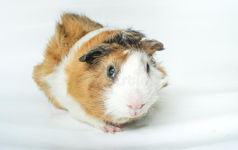 Cute guinea pig, a popular household pet on white background. Can use for advertising pet product or pet food royalty free stock images