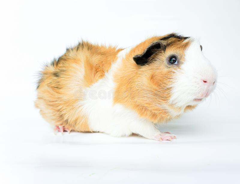 Cute guinea pig, a popular household pet on white background. Can use for advertising for pet food or pet product, etc stock photo