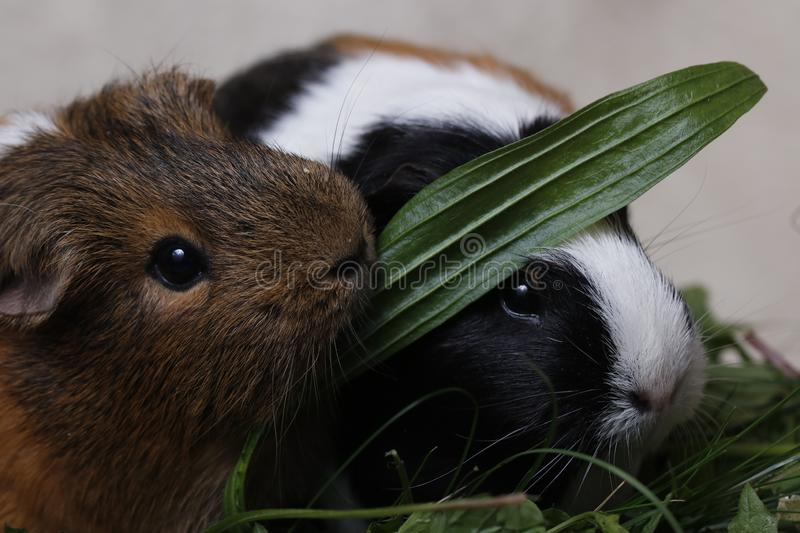 Cute guinea pigs with a green leaf royalty free stock photo