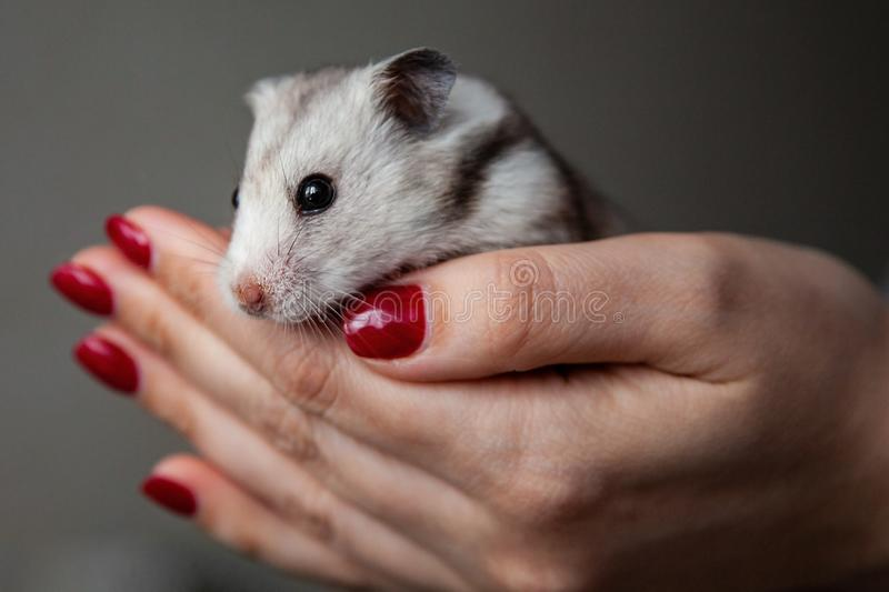 Cute hamster in the hands of a girl royalty free stock photo