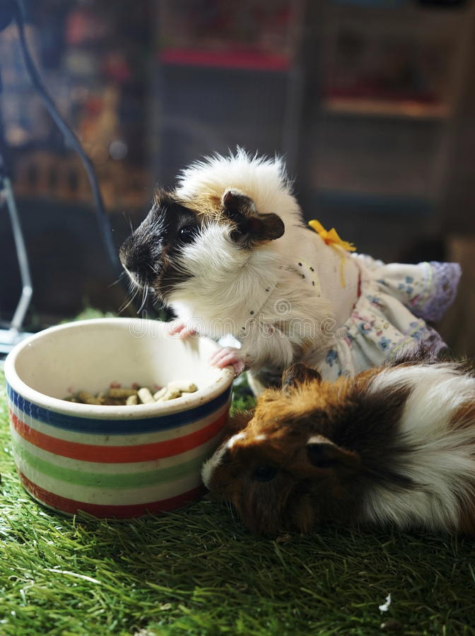 Cute Hamster ware the skirt and eat food. Show on the stage with grass stock images