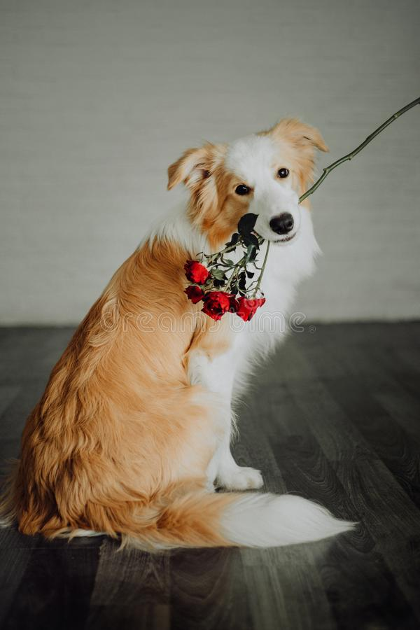 Cute happy dog border collie makes a funny pose and sticks his tongue and bring flowers royalty free stock photography