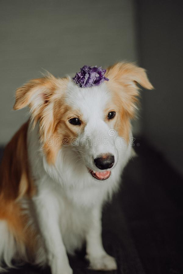 Cute happy dog border collie makes a funny pose and sticks his tongue and bring flowers royalty free stock photo
