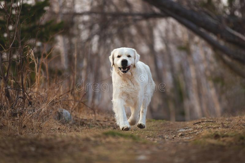 Cute and happy dog breed golden retriever running in forest and has fun at sunset. Portrait of cute and happy dog breed golden retriever running in forest and royalty free stock image