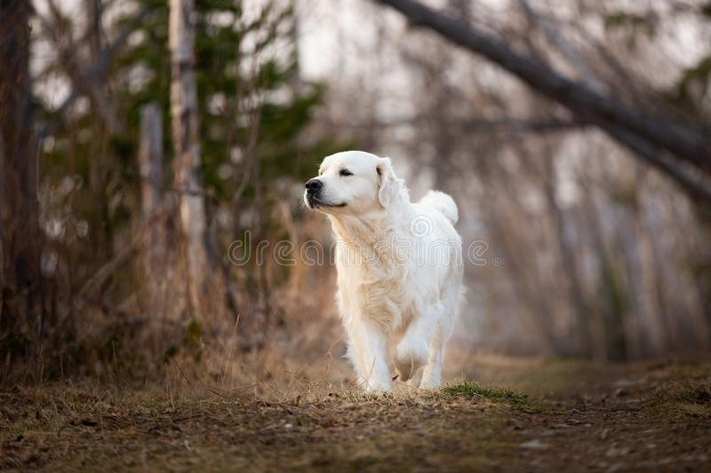 Cute and happy dog breed golden retriever running in forest and has fun at sunset. Portrait of cute and happy dog breed golden retriever running in forest and stock photo