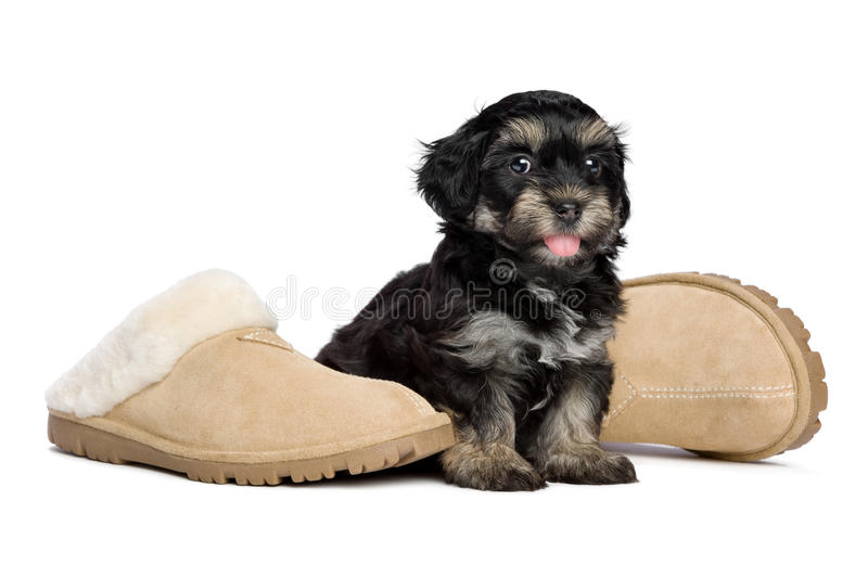 Cute happy havanese puppy dog is sitting next to slippers stock image