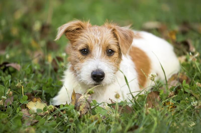 Cute happy pet dog puppy waiting in the grass. Cute happy jack russell pet dog puppy waiting in the grass stock images
