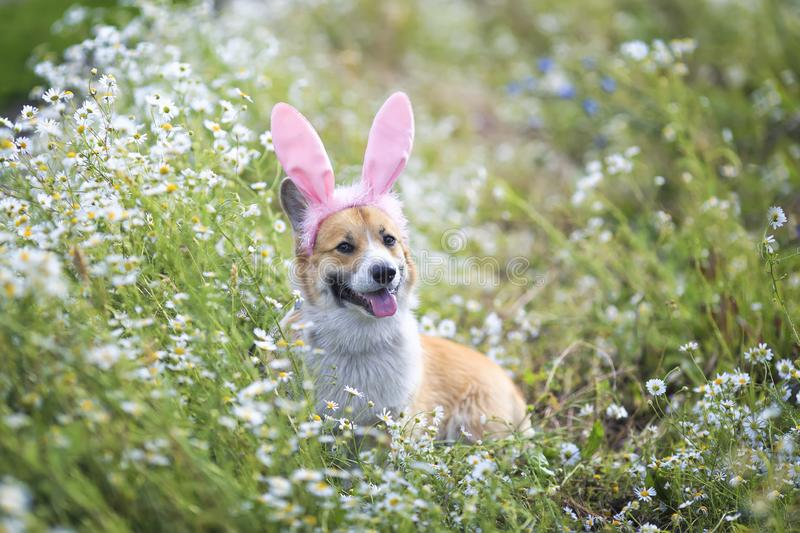 Happy puppy dog red Corgi in festive Easter pink rabbit ears on meadow lies in white chamomile flowers on a Sunny clear day. Cute happy puppy dog red Corgi in stock photo