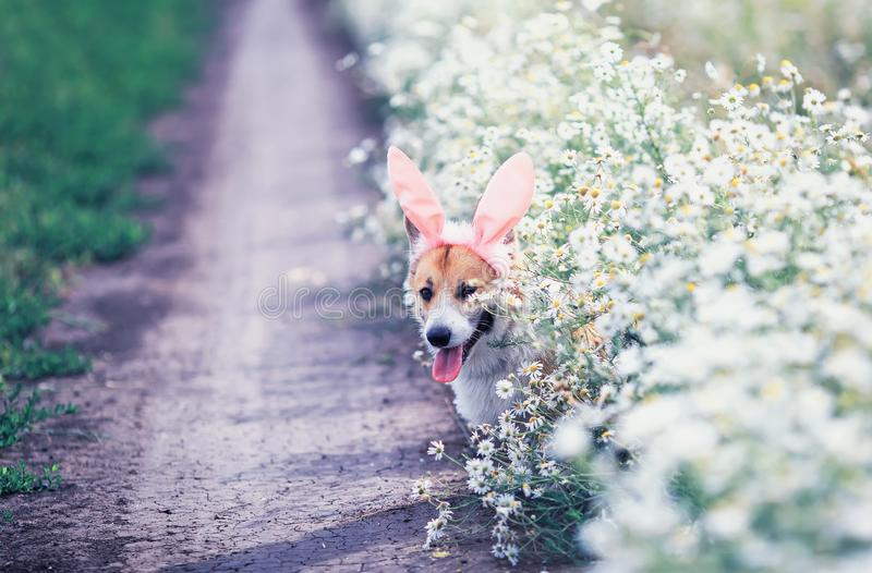 Cute happy puppy dog red Corgi in festive Easter pink rabbit ears on meadow sit on white flowers chamomile in Sunny. Puppy dog red Corgi in festive Easter pink stock photo