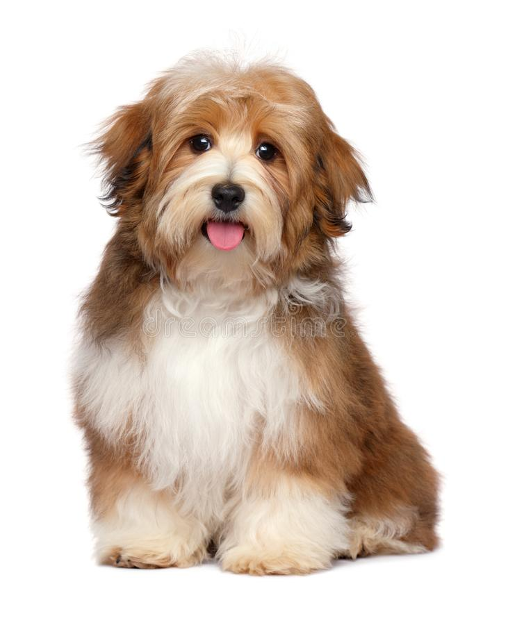 Cute happy red parti colored havanese puppy dog stock image