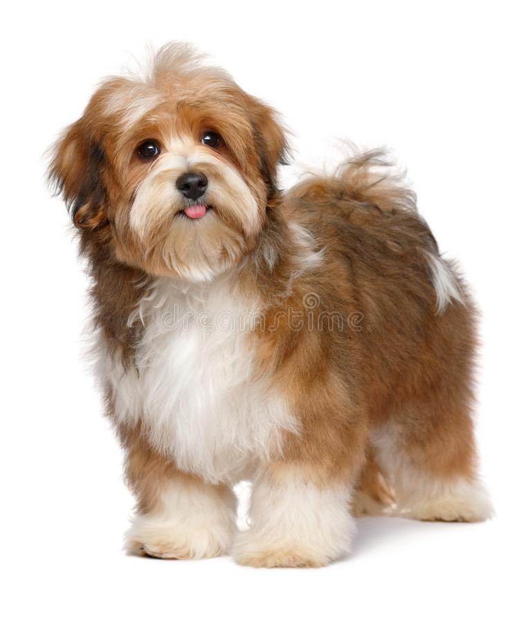 Cute happy red parti colored havanese puppy royalty free stock photography