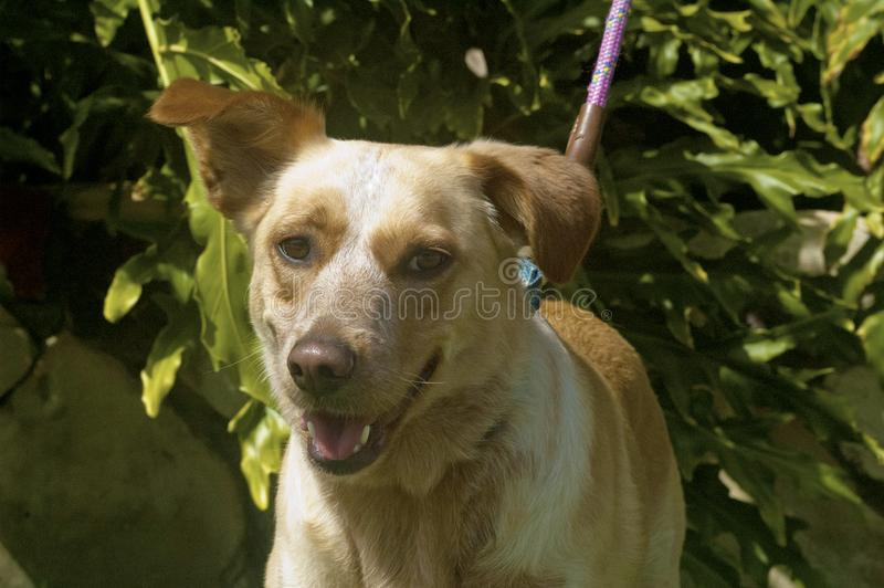 Mixed breed shepard and labrador retriever floppy eared smile. Cute happy smiling dog ears up bright green background open mouth smile stock image