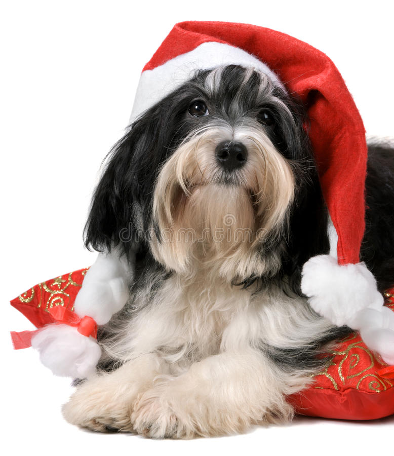 Cute havanese puppy dog with a santa hat stock image