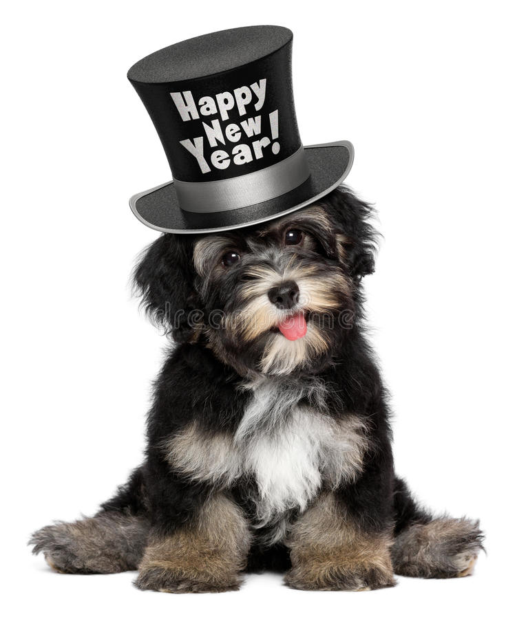 Cute havanese puppy dog is wearing a Happy New Year top hat royalty free stock images