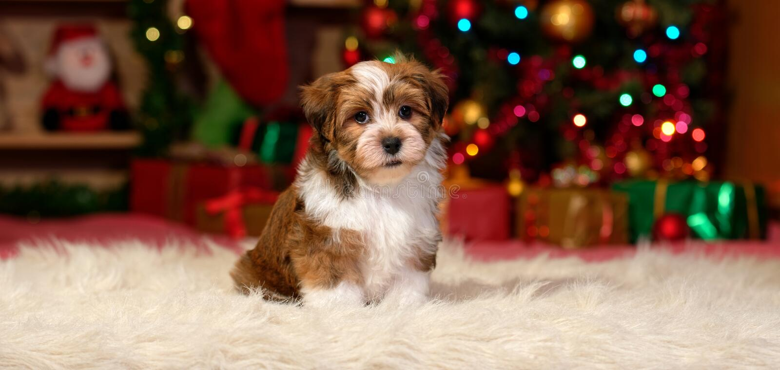 Cute Havanese puppy in front of a Christmas tree royalty free stock photography