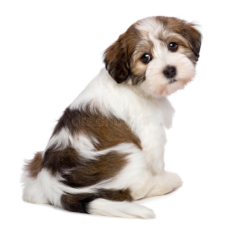Cute Havanese puppy is sitting and photographed from behind stock photos