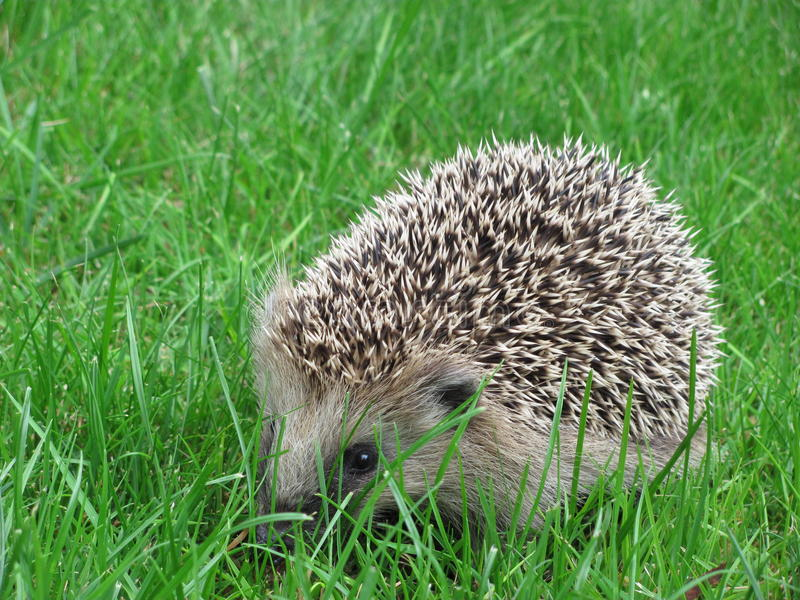 Download A cute hedgehog stock photo. Image of cute, grass, nature - 20293550