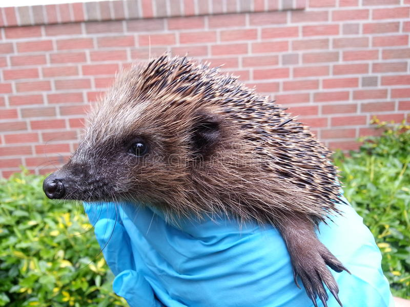 Cute hedgehog in gloved hands side stock photography