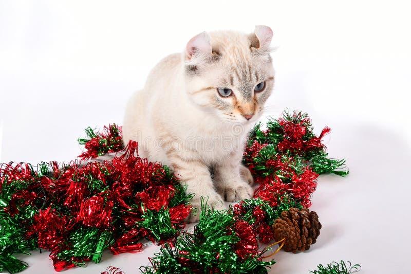 Christmas Highland Lynx kitten 4 royalty free stock photos