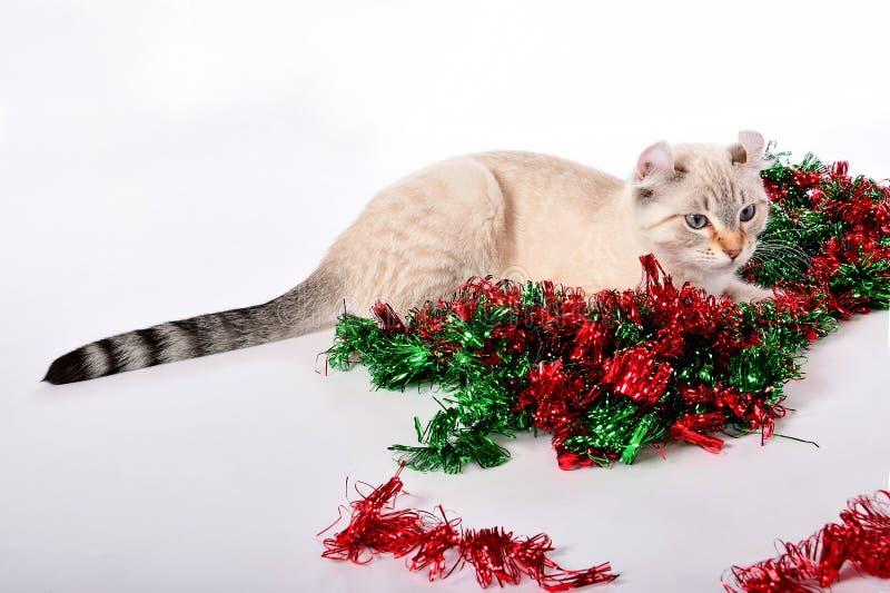 Christmas Highland Lynx kitten 7 royalty free stock image