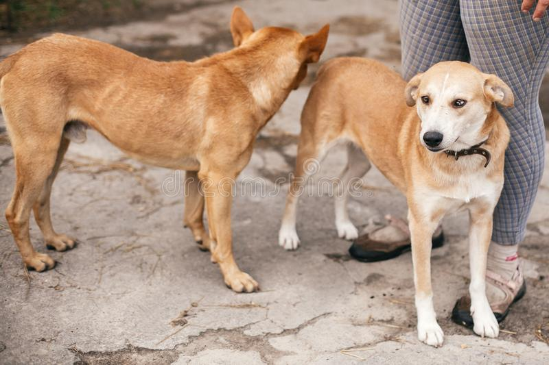 Cute homeless dogs with sweet looking eyes playing in summer park. Adorable two yellow dogs with funny cute emotions playing. Together at shelter. Adoption royalty free stock photo