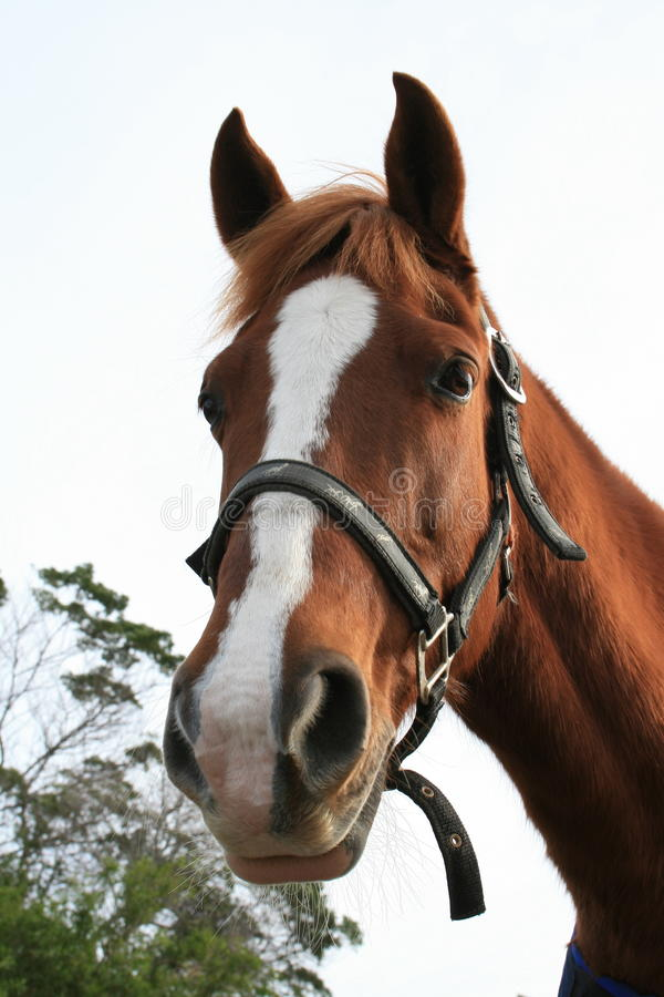 Cute horse. A portrait of a chestnut colored horse with a white blaze down his face royalty free stock images