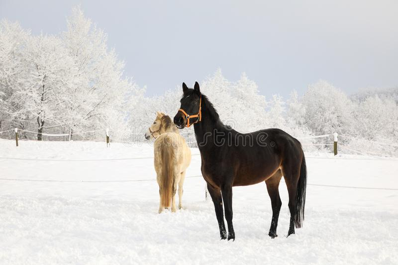 Cute horses on the snowy meadow stock photo