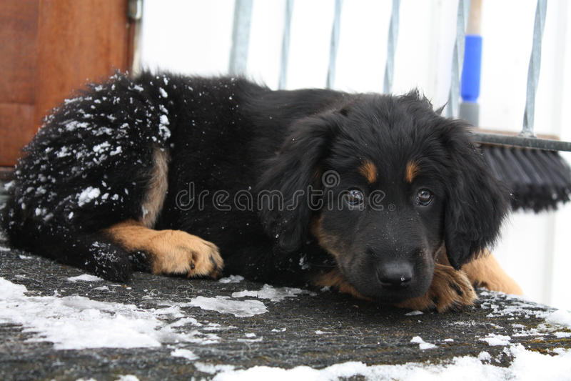 Cute hovawart puppy with bambi eyes stock image
