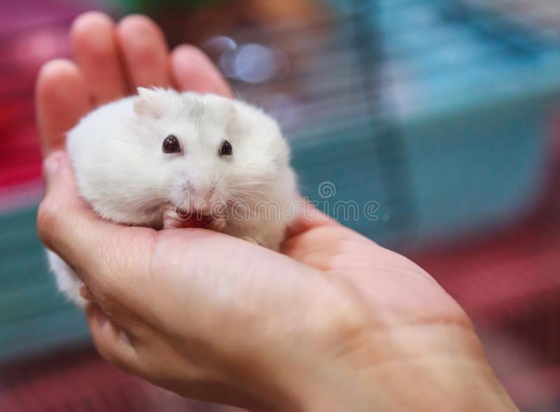 Cute hungry female Winter White Dwarf Hamster Winter White Dwarf, Djungarian, Siberian Hamster is on owner hand, eating pet food. Pet health care, friend, fun royalty free stock image