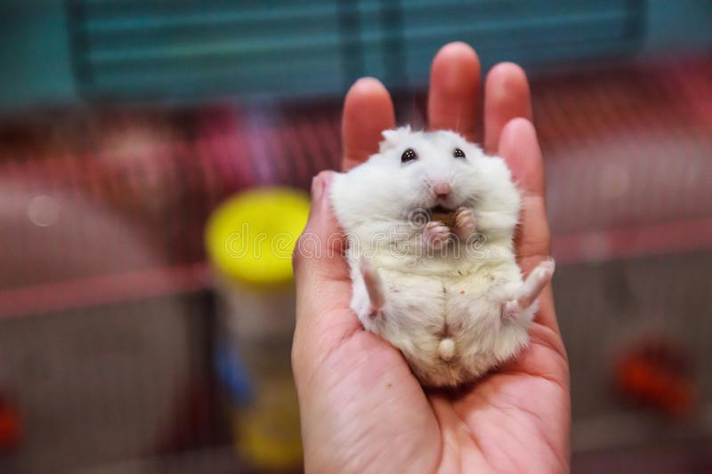 Cute hungry female Winter White Dwarf Hamster Winter White Dwarf, Djungarian, Siberian Hamster is on owner hand, eating pet food. Pet health care, friend, fun stock photography