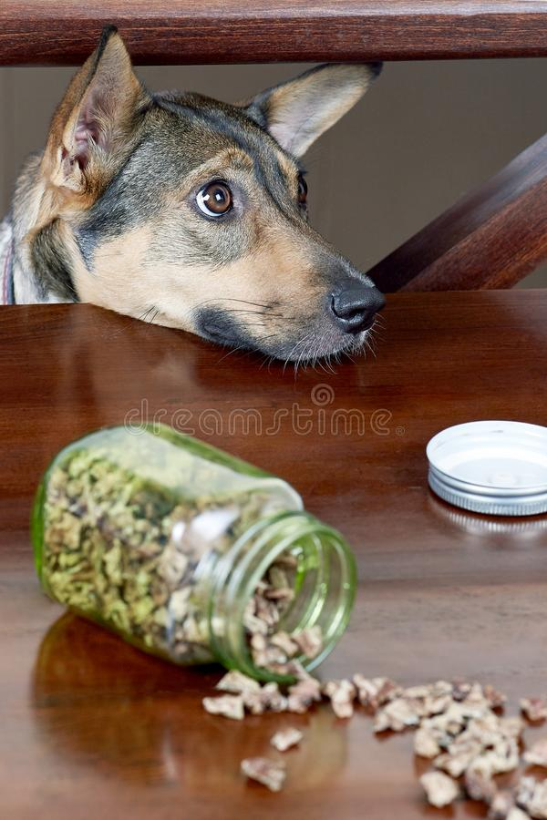 Cute hungry mongrel dog looks upon the table to the treats. Dry dog treats usually used as a rewards during the positive training. royalty free stock image