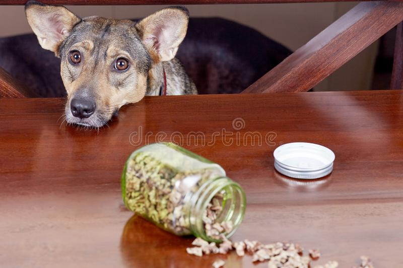 Cute hungry mongrel dog looks upon the table to the treats. Dry dog treats usually used as a rewards during the positive training. stock image