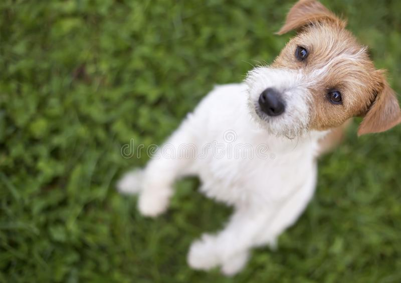 Cute hungry pet dog puppy begging. Cute hungry jack russell pet dog puppy begging in the grass royalty free stock images