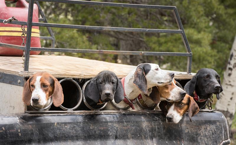 Hunting Dogs Ready To Go royalty free stock photos