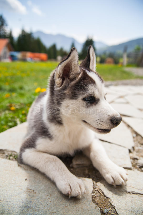 Cute husky dog puppy stock images