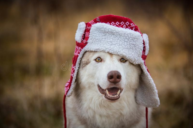 Cute husky dog is in warm cap with ear flaps. Close-up portrait. Funny dog breed siberian husky in the red hat royalty free stock photo