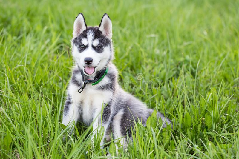 Cute Husky puppy dog sits in grass stock photo