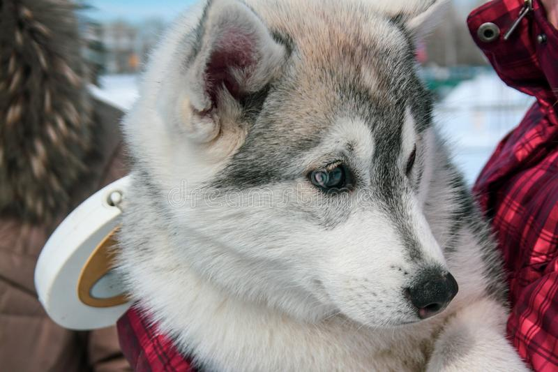 Cute husky puppy looks around. Portrait. Visible leash royalty free stock photo