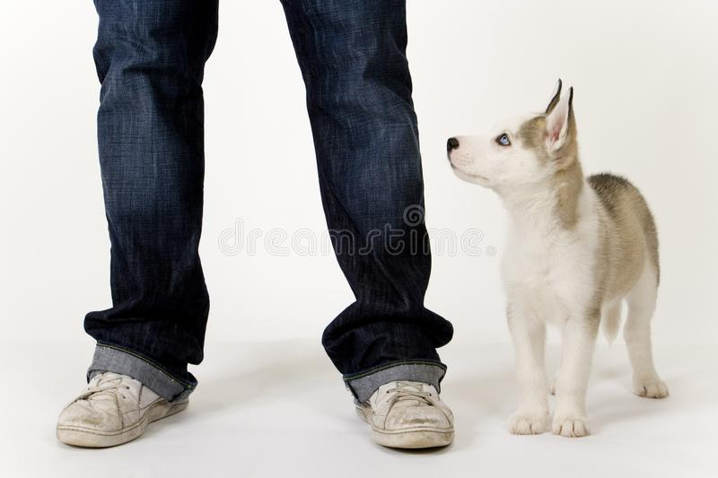 Cute husky puppy on white seamless. A very cute young Husky dog puppy with piercing blue eyes gazes up at his master stock photos