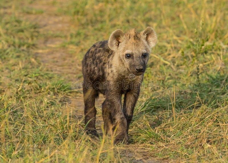 Cute hyena cub stock photos