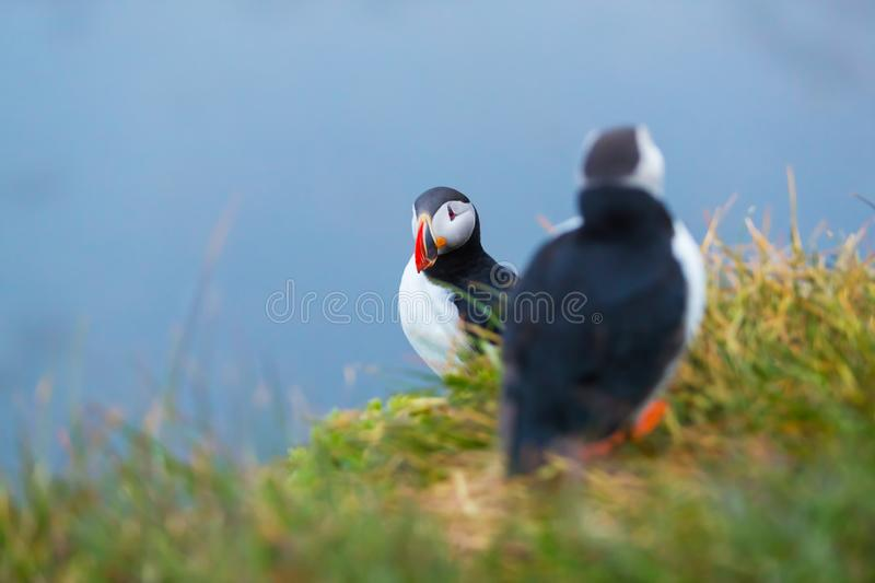 Cute iconic puffin birds, Iceland. These birds are one of the symbols of Iceland royalty free stock images